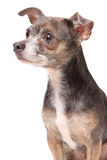 Chihuahua dog portrait Stock Photos