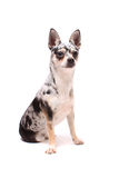 Chihuahua dog portrait Stock Photography