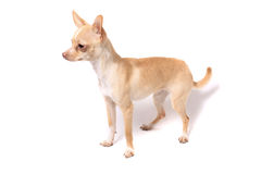 Chihuahua dog portrait Royalty Free Stock Photos