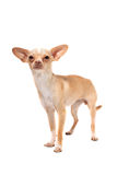 Chihuahua dog portrait Royalty Free Stock Photo