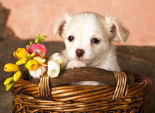 Chihuahua dog portrait. And springs flowers Stock Photo