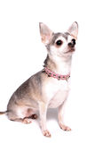 Chihuahua dog portrait Stock Image