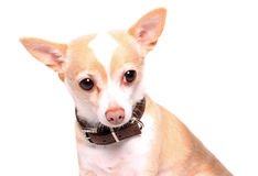 Chihuahua dog portrait Royalty Free Stock Photography