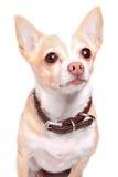 Chihuahua dog portrait Stock Photos