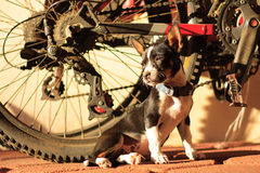 Chihuahua dog portrait with bicycle background Royalty Free Stock Image