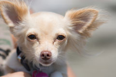 Chihuahua Dog. Portrait. Cute. Royalty Free Stock Photos