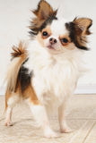 Chihuahua dog. Portrait of chihuahua dog indoors Stock Images