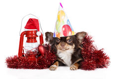 Chihuahua dog posing for new year Stock Photo
