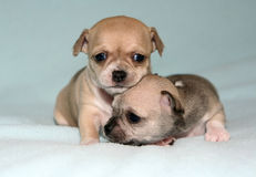Chihuahua dog puppies Royalty Free Stock Image
