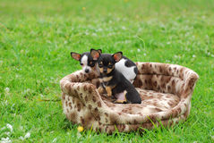 Chihuahua dog puppies. Two cute little purebred Chihuahua dog puppies from the same litter sitting in a soft basket outdoors and staring Stock Photos