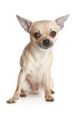 Chihuahua dog puppy Royalty Free Stock Photography