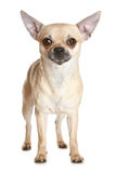 Chihuahua dog puppy Stock Photography