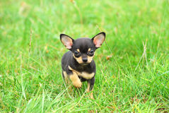 Chihuahua dog puppy. A black and tan purebred Chihuahua dog puppy standing in grass outdoors and staring Stock Photography