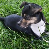 Chihuahua dog puppy laying on grass stock photography