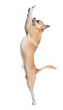 Chihuahua dog ramps begging something. Pale yellow chihuahua dog ramps begging something, isolated on white stock photography