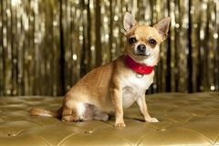 Chihuahua dog with red collar. Famous chihuahua collar in red Stock Images