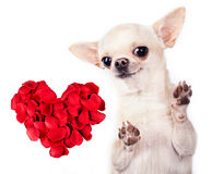 Chihuahua dog with red heart Royalty Free Stock Photography