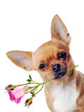 Chihuahua dog with rose isolated on white background Royalty Free Stock Photo