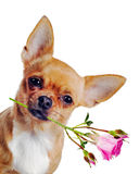 Chihuahua dog with rose isolated on white background. Stock Photos