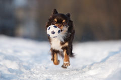 Chihuahua dog running outdoors in winter Stock Photo
