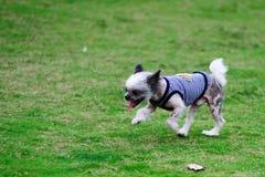 Chihuahua dog running running stock image