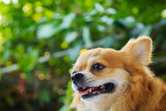 Chihuahua Dog`s face. Close-up of chihuahua / dog`s face with green garden in background Stock Images