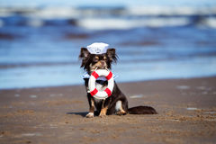 Chihuahua dog in a sailor hat holding a life buoy Royalty Free Stock Image