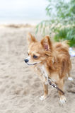 Chihuahua  dog on sandy coast Royalty Free Stock Photos