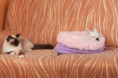 Chihuahua dog and a seal point Birman cat are sleeping  on sofa royalty free stock images