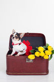 Chihuahua dog is sitting in box with yellow tulips Stock Image