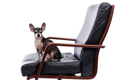 A chihuahua dog sitting on chair and looking at camera. Isolated on white background Royalty Free Stock Photography