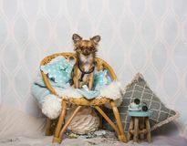 Chihuahua dog sitting on chair in studio, portrait. Isolated on white Stock Photography