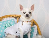 Chihuahua dog sitting on chair in studio, portrait. Isolated on white Royalty Free Stock Images
