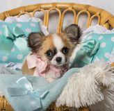 Chihuahua dog sitting on chair in studio, portrait. Isolated on white Royalty Free Stock Image