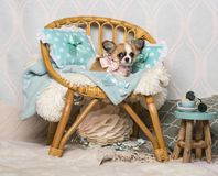Chihuahua dog sitting on chair in studio, portrait. On white Royalty Free Stock Photo