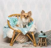 Chihuahua dog sitting on chair in studio, portrait. On white Stock Photo