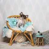 Chihuahua dog sitting on chair in studio, portrait. On white Stock Images