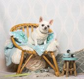 Chihuahua dog sitting on chair in studio, portrait. On white Stock Photos
