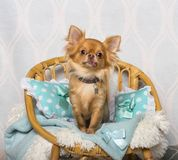 Chihuahua dog sitting on chair in studio, portrait. On white Stock Image