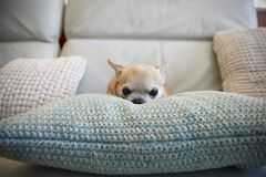 Chihuahua Dog Sitting On Cushion Indoors Stock Photos