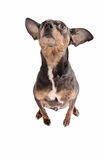 Chihuahua dog sitting on white Royalty Free Stock Photos
