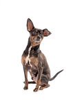Chihuahua dog sitting on white Royalty Free Stock Images