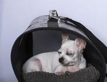 Chihuahua dog sleeping in the booth stock photos