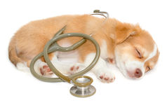 Chihuahua dog sleeping with stethoscope stock images