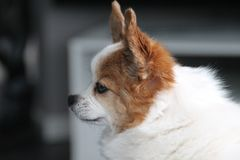 Chihuahua dog. Small luttle cute hund animal Stock Images