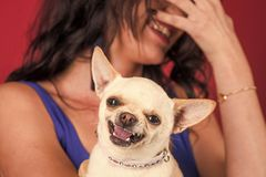 Chihuahua dog smiling in female hands. Puppy face with happy smile on red background. Pet, companion, friend, friendship. Protection, alertness, bravery stock photography