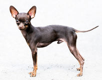 Chihuahua dog standing Royalty Free Stock Image