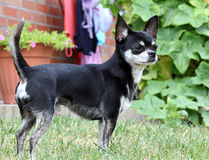Chihuahua dog.. Chihuahua dog  standing in grass Stock Photo