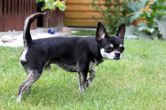 Chihuahua dog... Chihuahua dog  standing in grass Royalty Free Stock Photos