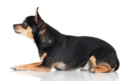 Chihuahua dog standing portrait Royalty Free Stock Image